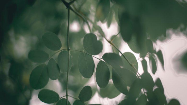 Benefits of Moringa शेवग्याचा उपयोग 300 रोगावर केला जातो