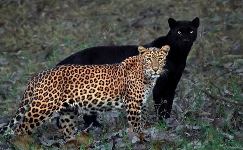 Black Panther and Leopard या जोडीचे फोटो इंटरनेट गाजत आहेत