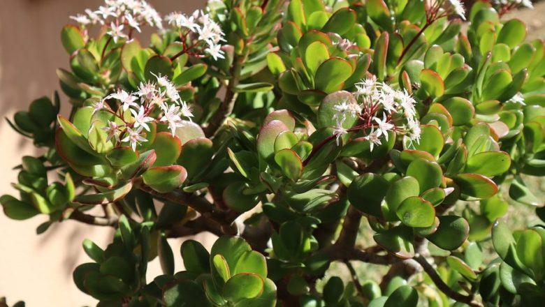 crassula plant हे झाड चुंबका सारखा पैसा घरामध्ये खेचून आणते, याला मनी ट्री म्हणतात