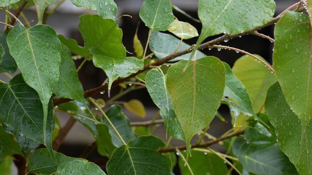 Plants not Good for Home as per Vastu