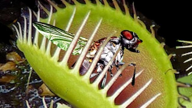 venus flytrap facts